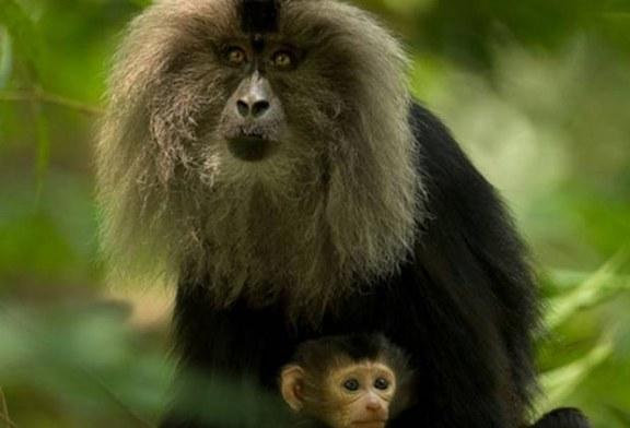 Zbiegłe małpki w dalszym ciągu na wolności!